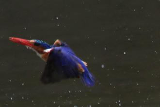 Malachite Kingfisher - returning from a dive