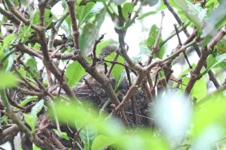 Sombre Greenbul on nest