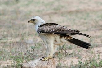 Wahlberg's Eagle - pale phase