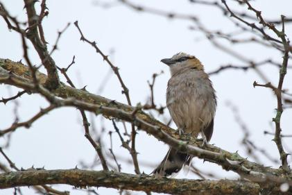 Bedraggled Brown-crowned Tchagra.