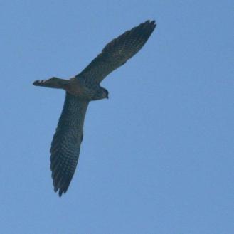 Amur Falcon - female - Decklan