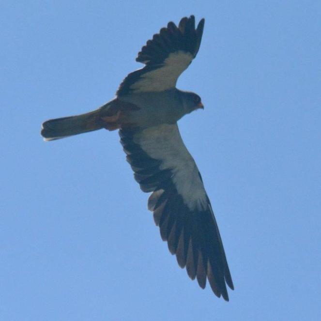 Amur Falcon - male - Decklan