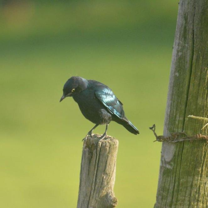 Black-bellied Starling - Decklan