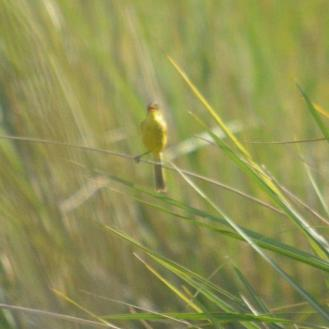 Dark-capped Yellow Warbler - Decklan