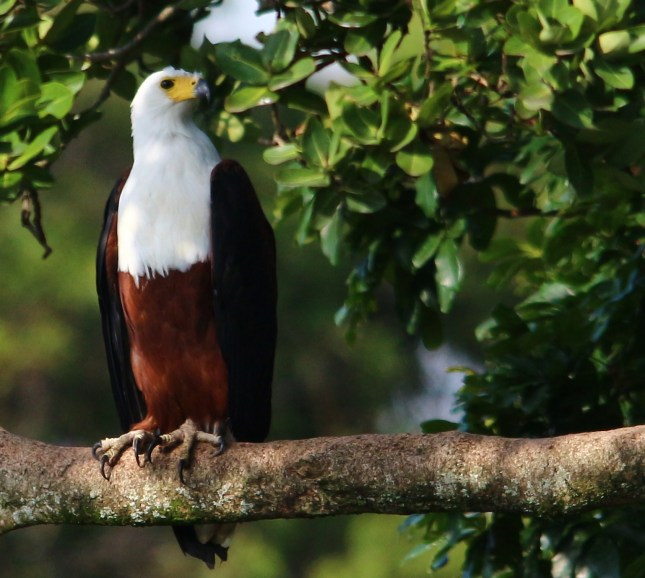 African Fish-Eagle - Mike Caine