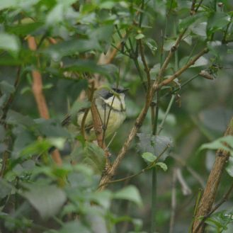 Bar-throated Apalis - Decklan