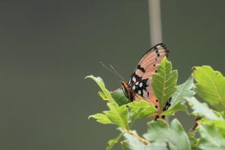 As butterfly 1 - Gaudy Commadore