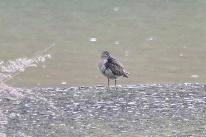 Common Sandpiper with very black left shoulder