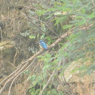 Half-collared Kingfisher - Decklan