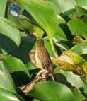 Sedge Warbler - Rex