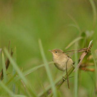 African Reed Warbler - Decklan