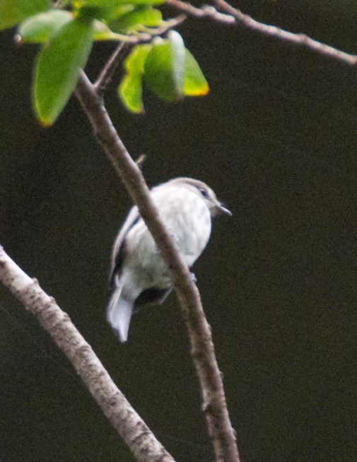 Flycatcher - spotted
