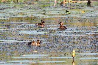 White-backed Ducks