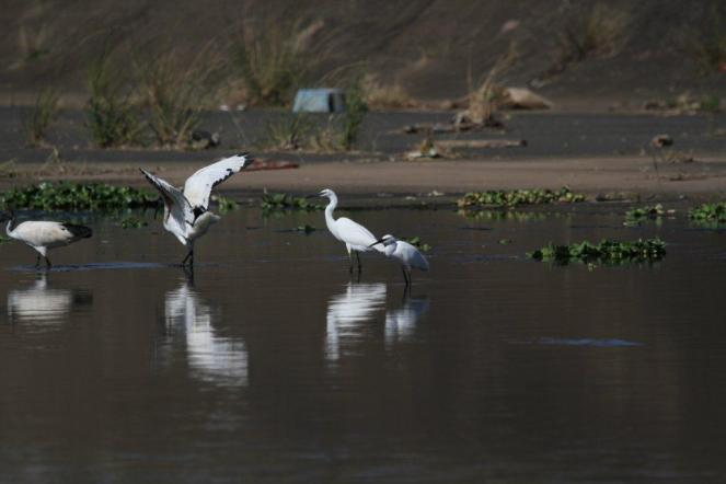 Little Egrets and Sacred Ibis