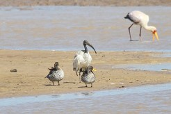 Sacred Ibis and Yellow-billed Ducks