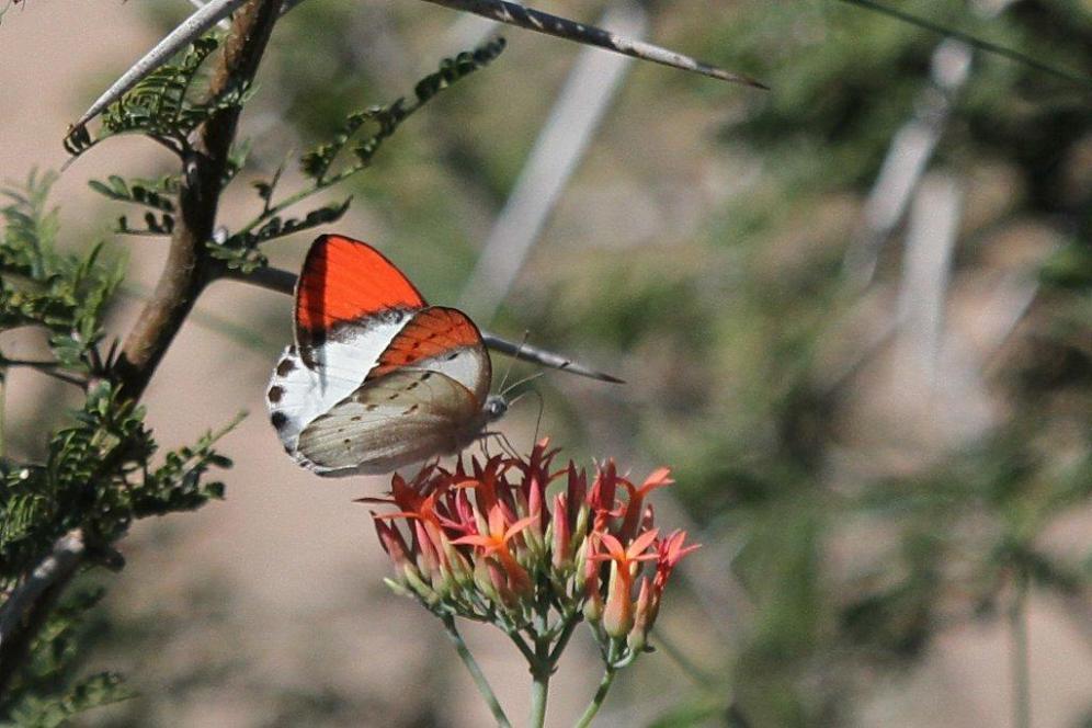 Scarlet Tip on Kalanchoe rotundiflora