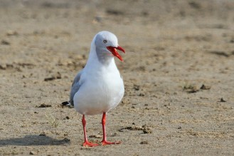 Grey-headed Gull