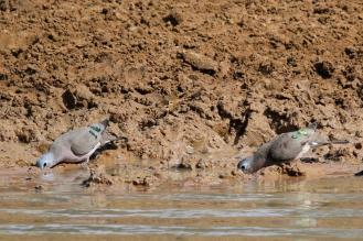 Emerald-spotted Wood-Doves
