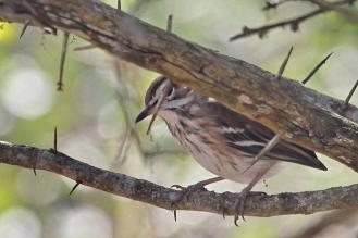 White-browned Scrub-Robin