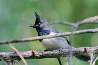 Blue-mantled Crested-Flycatcher