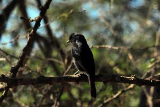 Southern Black Flycatcher - John Bevan