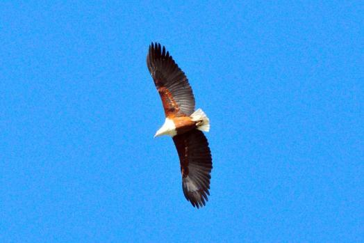 African Fish-Eagle - John Bevan