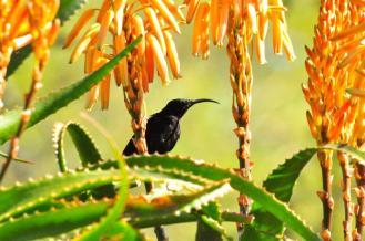 Amethyst Sunbird - John Bevan
