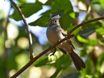 Blue-mantled Crested Flycatcher - Dave Rimmer