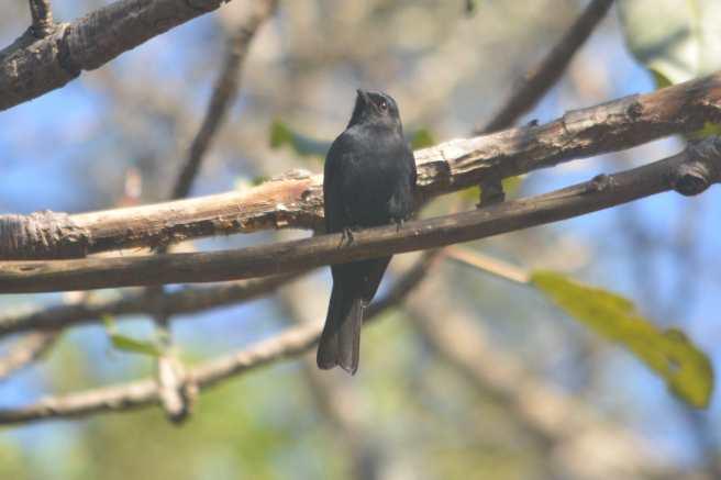 Southern Black Flycatcher - Decklan and Hennie