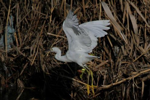 Snowy Egret showing yellow back to the legs