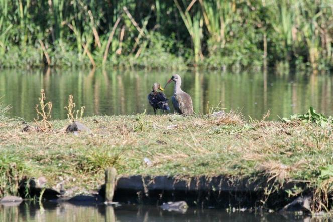 Yellow-billed Duck and Hadeda Ibis getting familiar