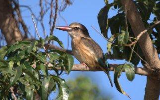 Brown Hooded Kingfisher - John