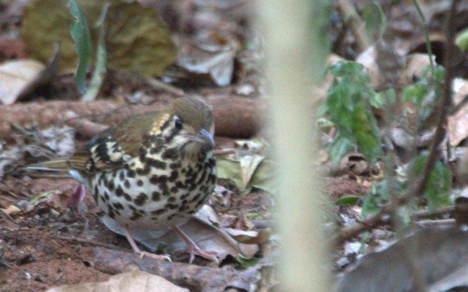 Spotted Ground Thrush -John