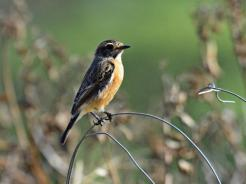 African Stonechat - female