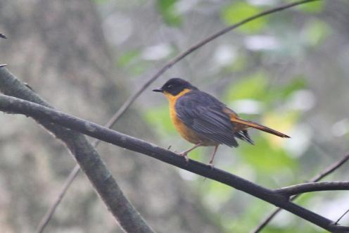 Chorister Robin-Chat