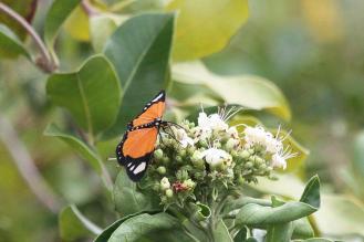 Monarch Looper