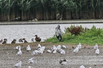 Grey Heron - preening