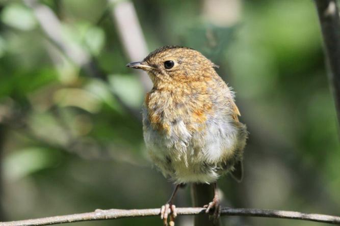 Robin - juvenile