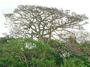 Ficus Natalensis or a​n​ Albizia Adianthifolia or a.n. other