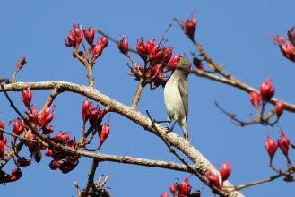 Female White-bellied Sunbird (1)