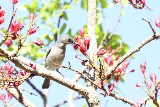 Grey Sunbird (2)