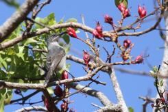 Grey Sunbird (6)