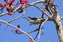 Grey Sunbird (7)