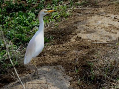 Western Cattle Egret (Bubulcus ibis)_