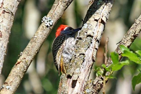 Adult Cardinal Woodpecker - male