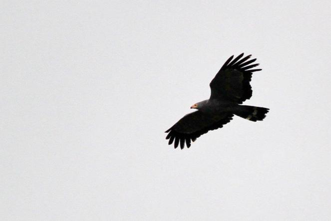African Harrier-Hawk passing by