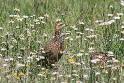 Red-winged Francolin in the daisies
