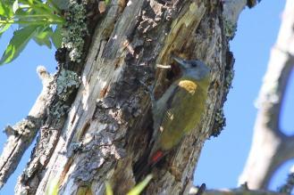 Olive Woodpecker - female