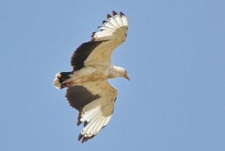Adult Palm-Nut Vulture