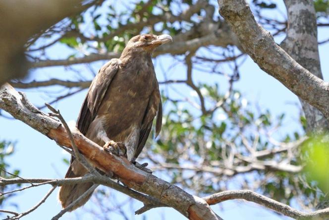 Juvenile Palm-Nut Vulture